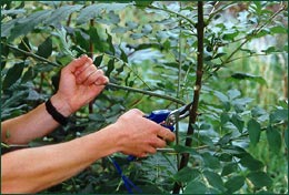 Tree pruning to improve final crop form and value