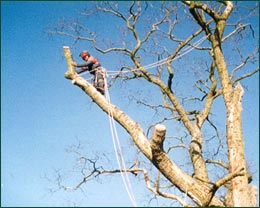 Tree surgeons removing dangerous trees